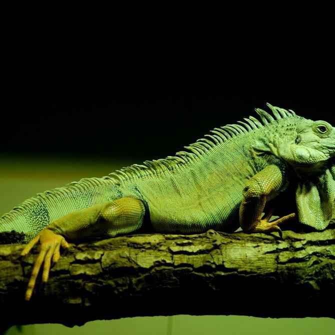 ¿Sabes cómo cuidar tu iguana?