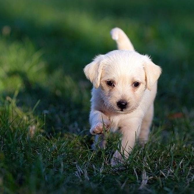 Ventajas y desventajas de la castración canina