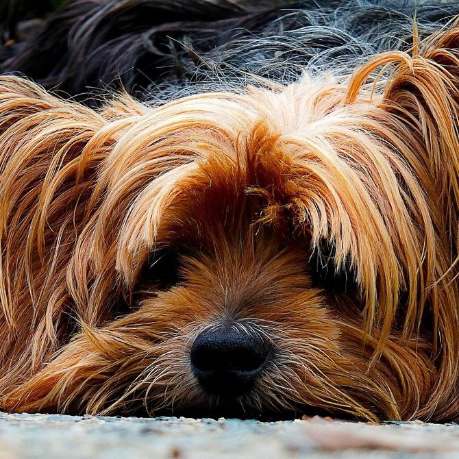 Nuevas tendencias en peluquería canina