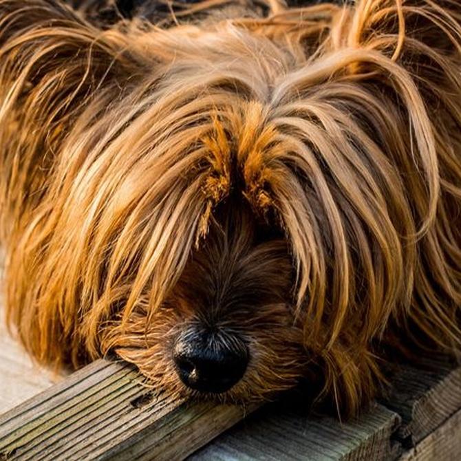 Cuidado con cortar el pelo a los perros