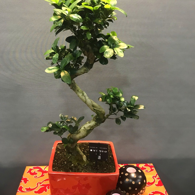 bonsai ficus : Productos de Flores Madrid