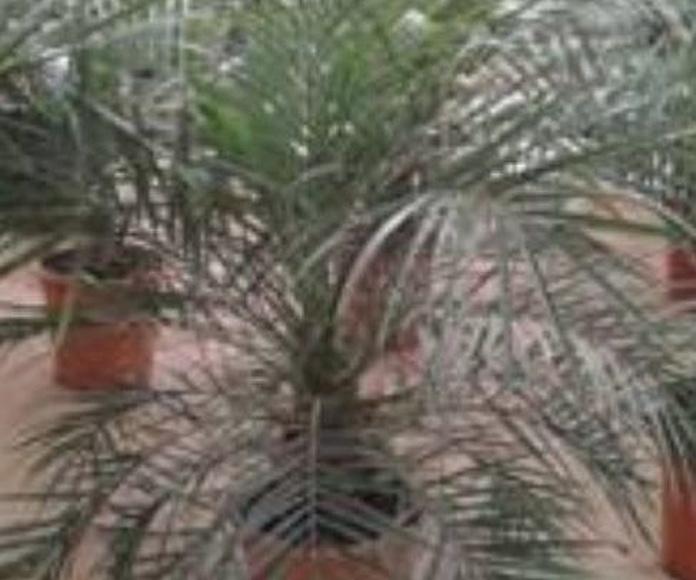 Plantas: Qué hacemos de Aceviños