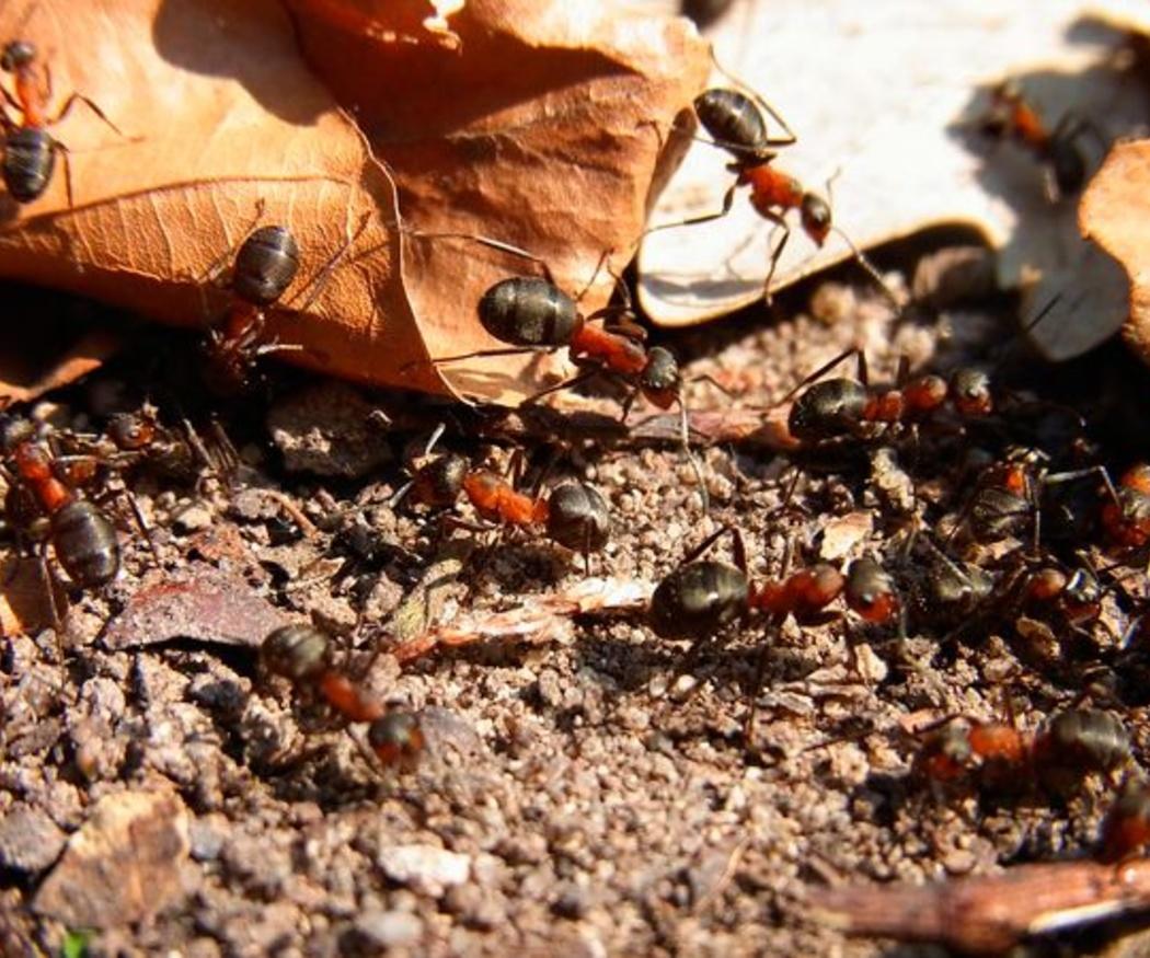 Cómo eliminar las plagas de hormigas
