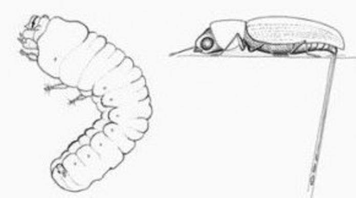Xilófagos 3