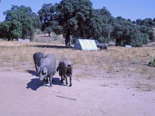 Dehesa de cría de cerdo ibérico