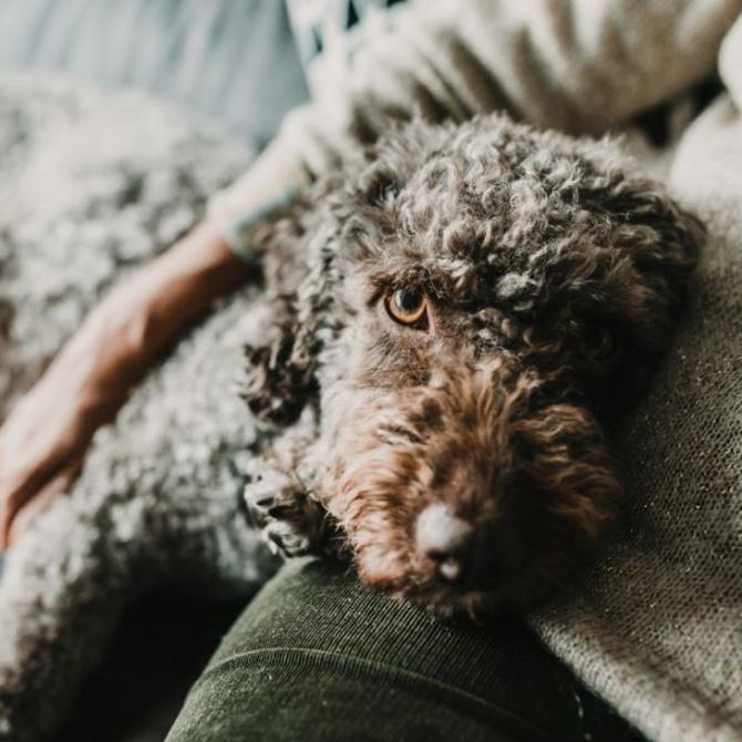¿Alergia al pelo del perro?