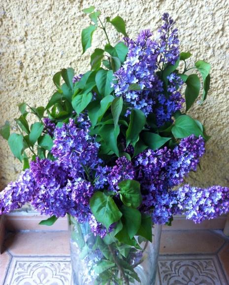 Lilas: Catálogo de Flores Maranta
