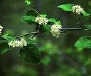 Cotoneaster granatensis Ref.5 ( Arbusto )