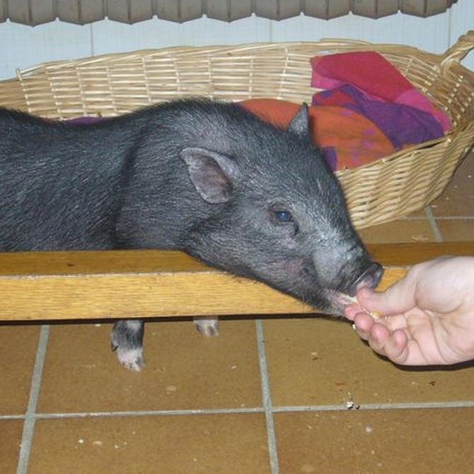 Los cuidados que necesita un cerdo vietnamita