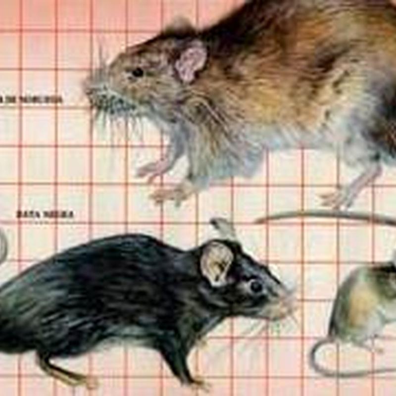 control de plagas en roedores en barcelona