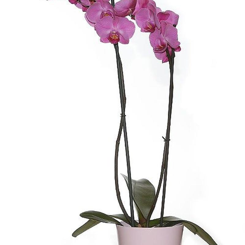 Orquídeas: Productos de FLORISTERÍA CASA BASUSTA