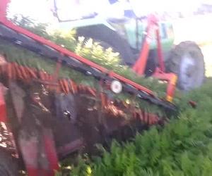 Recogida de la zanahoria