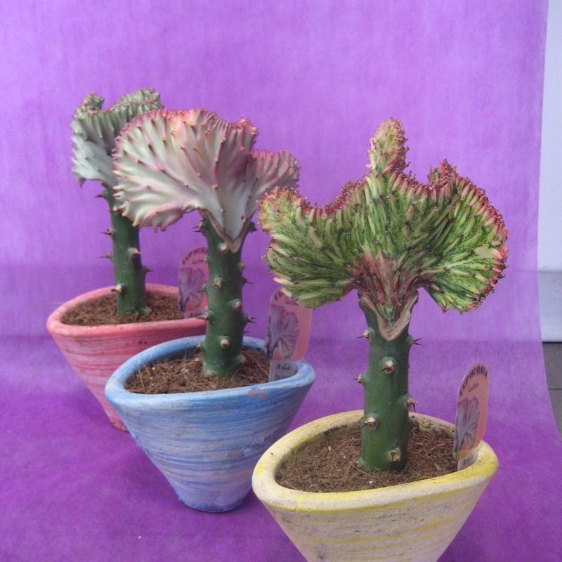 Euphorbia: Nuestras flores de Bouquet Flores y Plantas