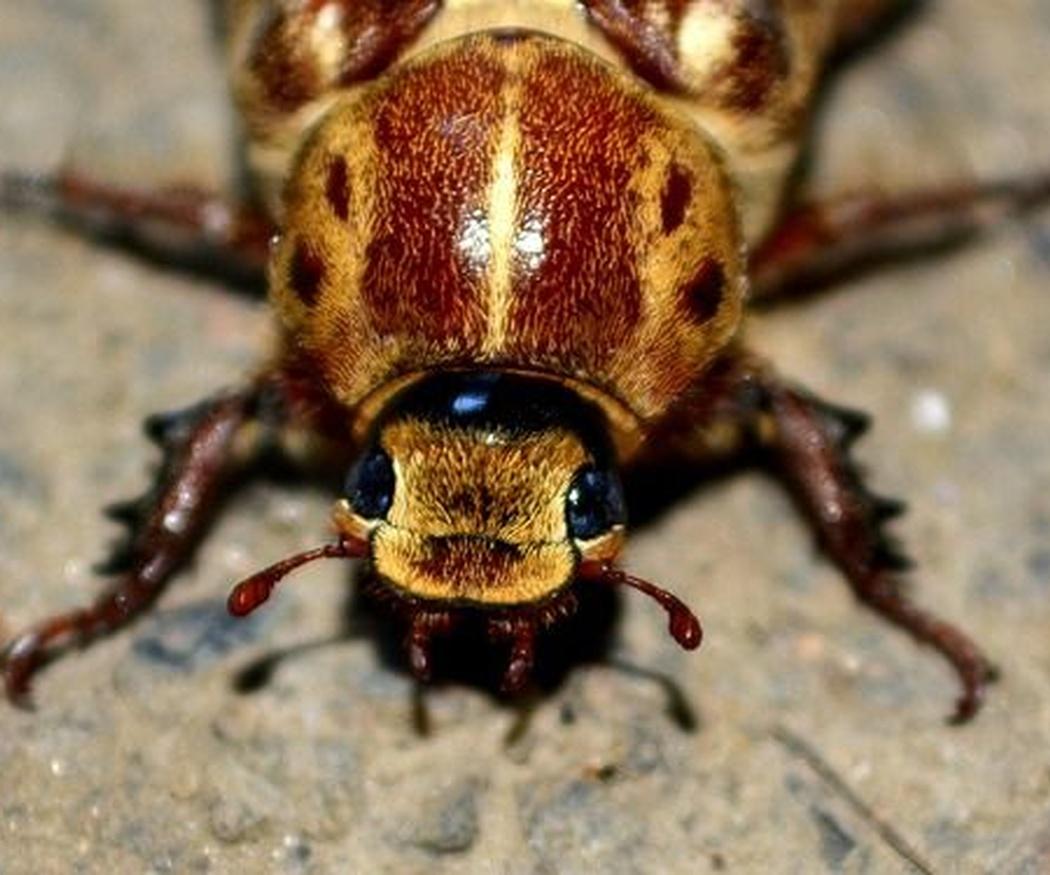 Por qué se infectan las casas de cucarachas