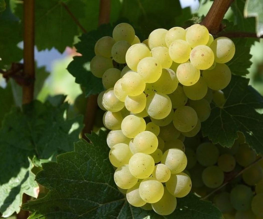 Algunas variedades de uvas blancas