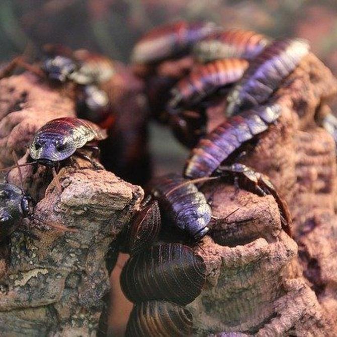 La gran capacidad de supervivencia de las cucarachas