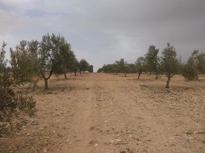 Venta de olivar Monte Camuñas: Inmuebles de Inmobiliaria Minerva