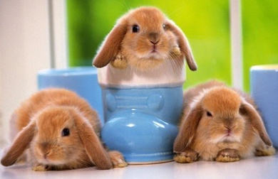 Ventajas de la esterilización en el conejo