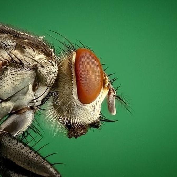 Plagas de moscas, prevención y tratamientos profesionales más comunes
