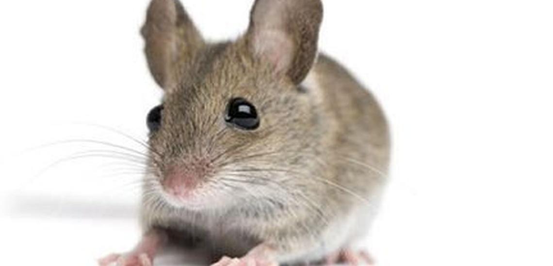 Matar ratas en Valencia con productos inocuos para la salud