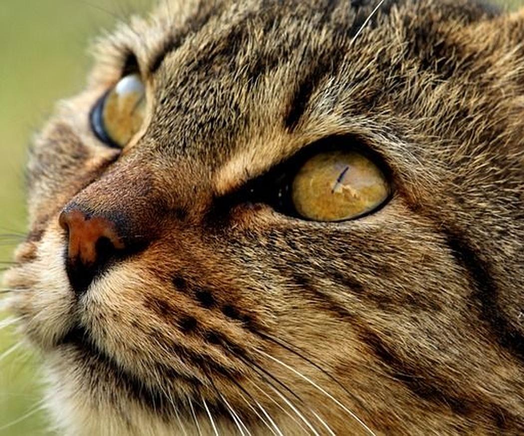 Cómo podemos alimentar a un gato esterilizado