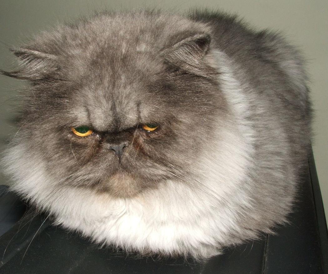 Cortar el pelo a los gatos