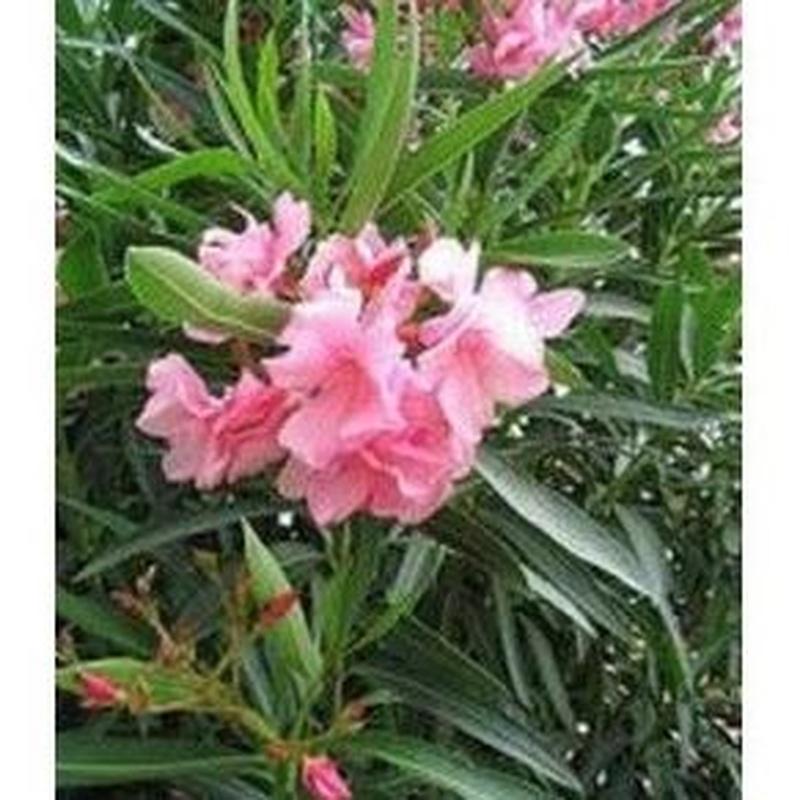 Adelfa: Productos de Danimayos Crea Tu Jardin