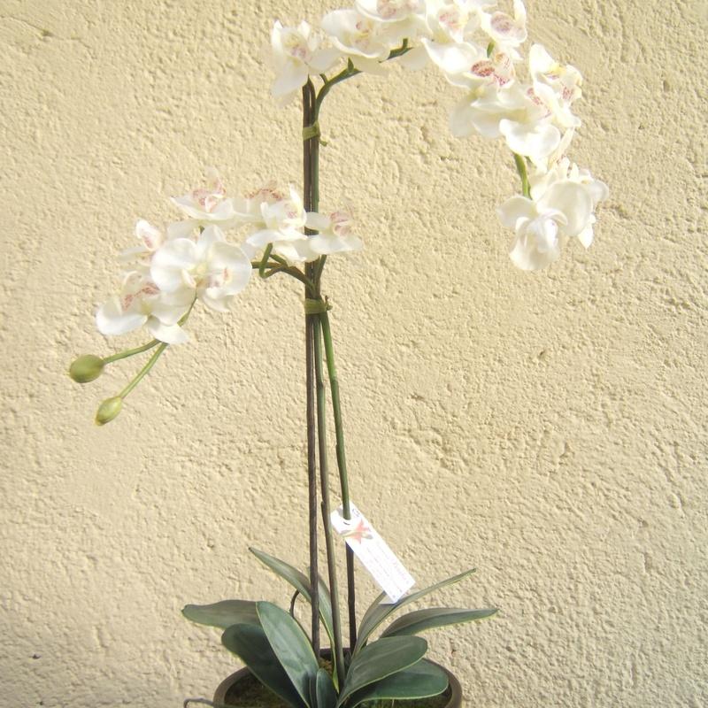 Orquidea en madrid centro
