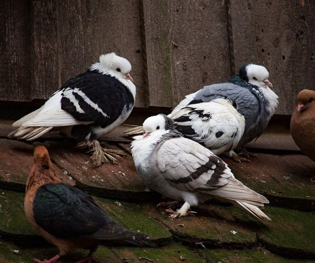 Enfermedades que producen las aves