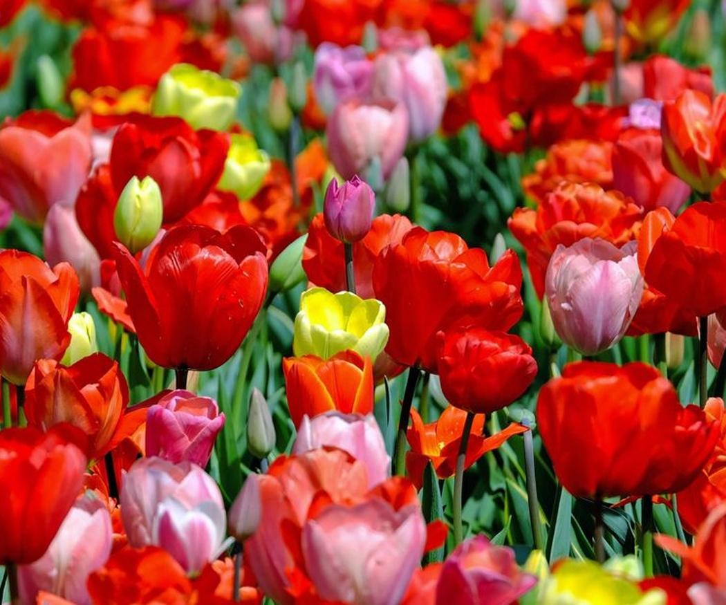 ¿Sabes cómo cuidar y regar los tulipanes?