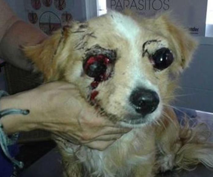 Lince. Diagnóstico: ojos fuera de la órbita con arrancamiento de nervio óptico y arterias.