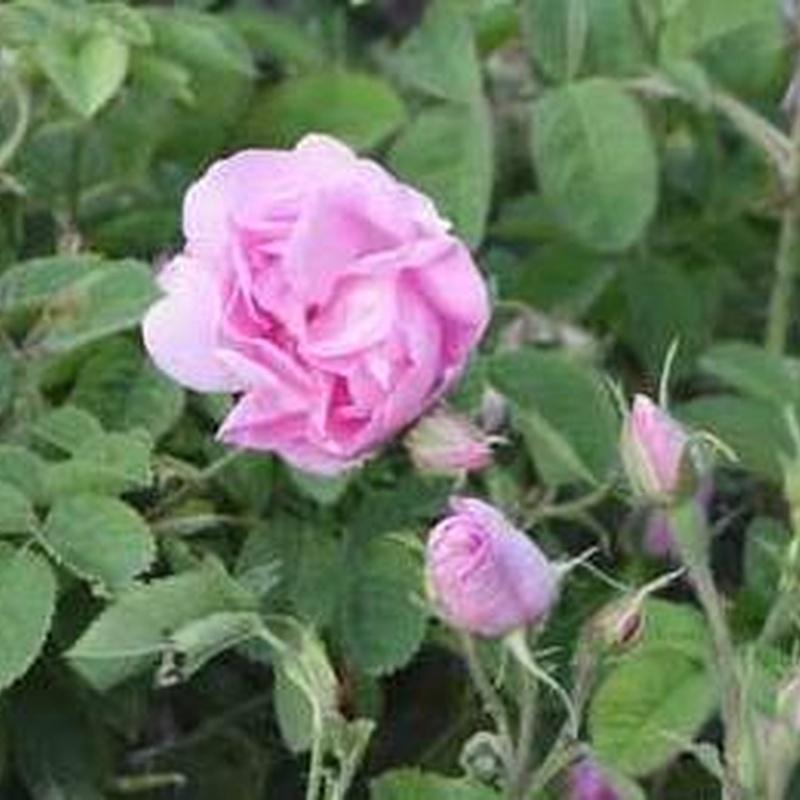 Rosal de Alejandría