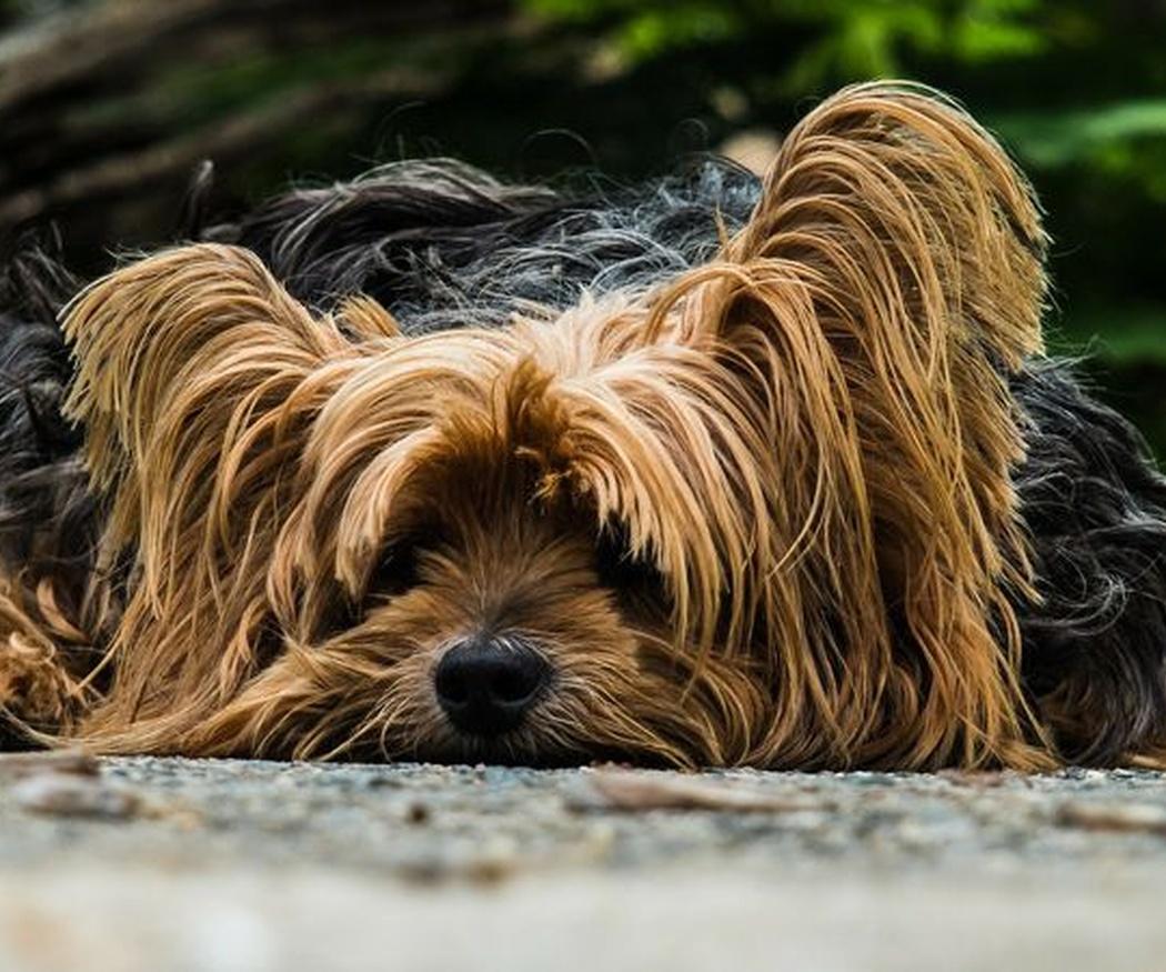 El moquillo, una enfermedad común en los perros