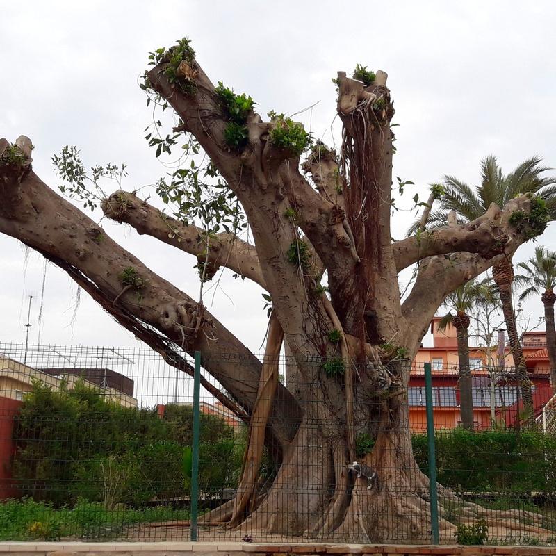 Poda Ficus en Cartagena