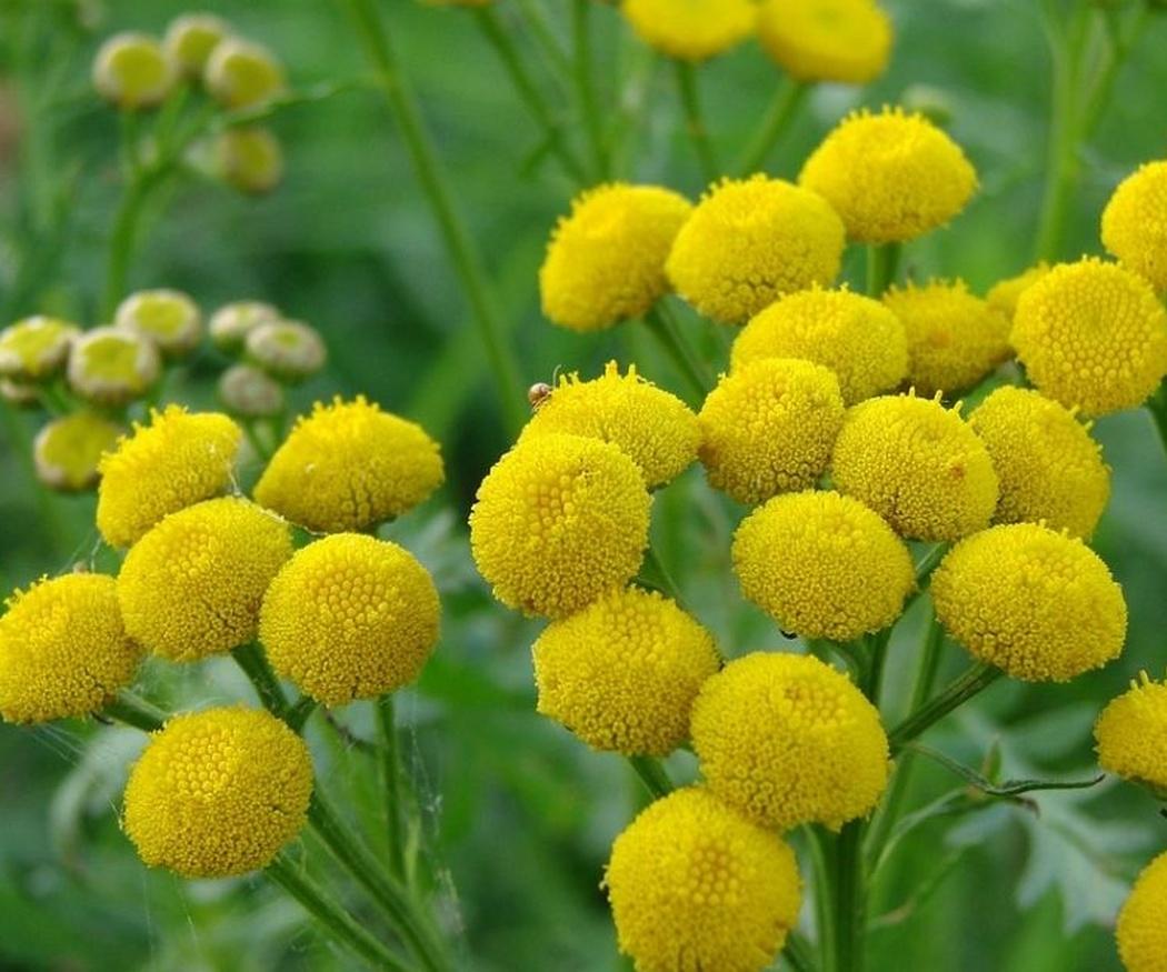 Algunas plantas medicinales de gran importancia (I)