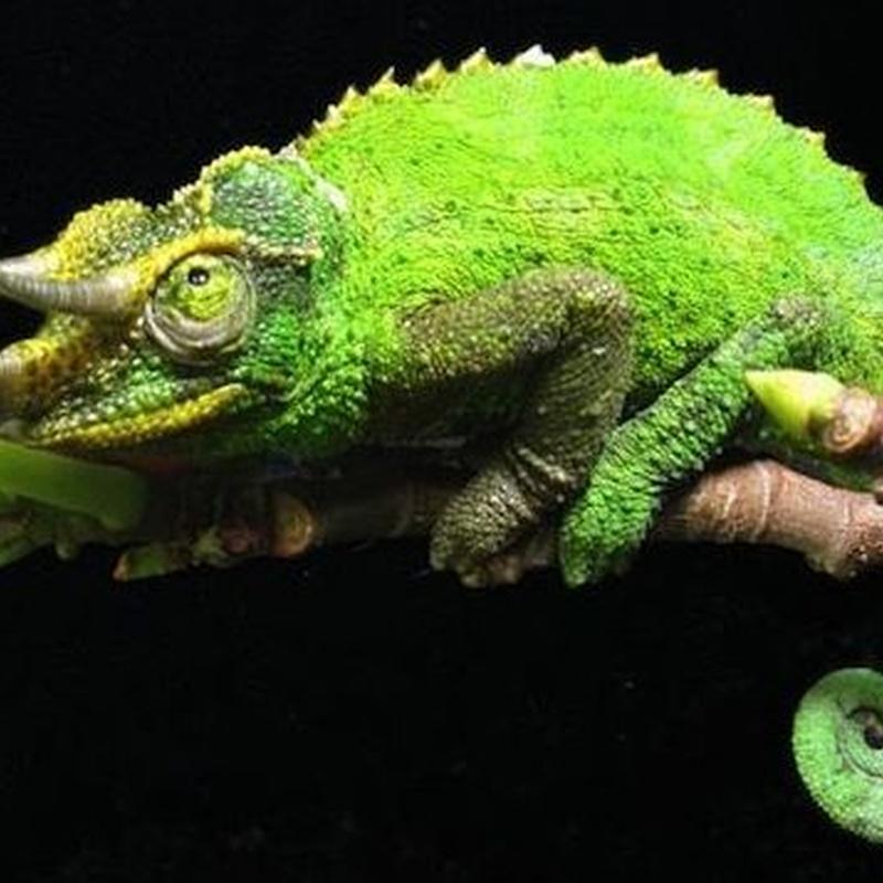 Camaleón Jacksonii: Catálogo de Reptil Parc