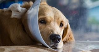 Cuidar a tu perro tras una operación