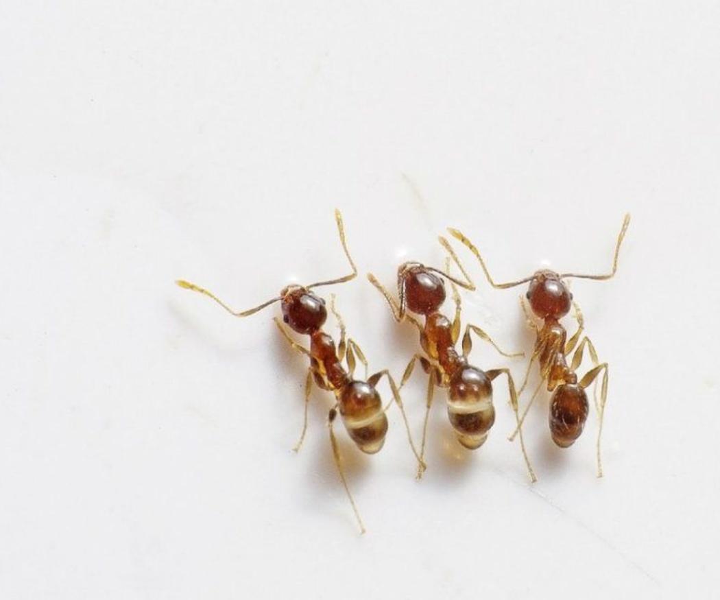 Eliminar las hormigas de la comida del gato