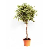 Plantas de interior y hoja verde: Productos de Garden La Palma