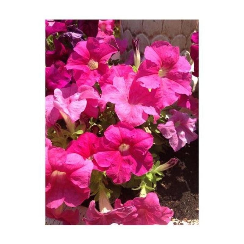 Petunias: Catálogo de Flores Maranta