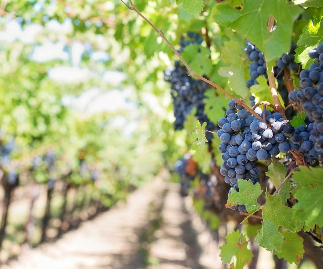 Consejos para el mantenimiento de un viñedo durante el invierno