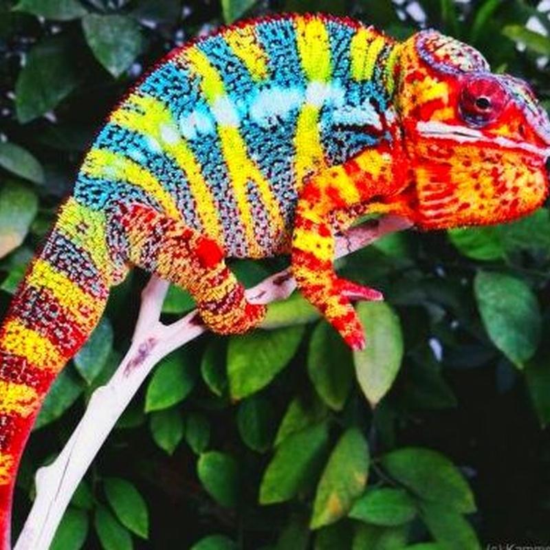 Furcifer Pardalis Ambilobe y Sambaba: Catálogo de Reptil Parc