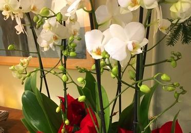 *Cesta variada con orquídeas y poinsettias de Navidad