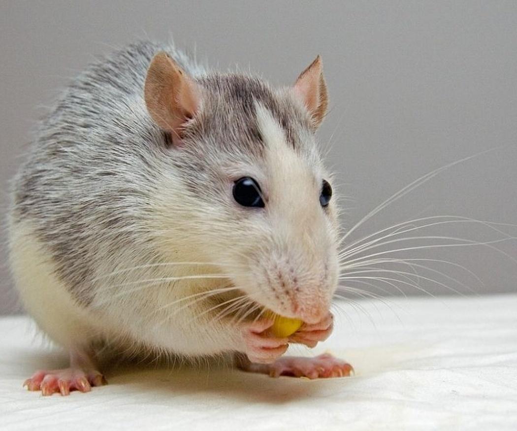 Las ratas y las enfermedades