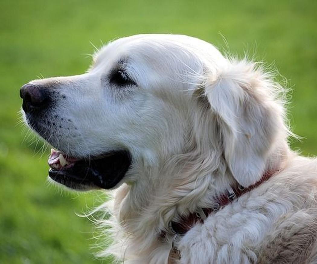 Cómo cuidar el pelo blanco de tu mascota