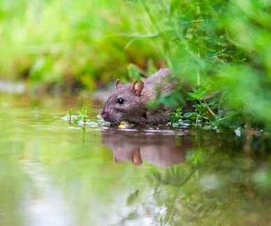 Remedios caseros para eliminar ratas