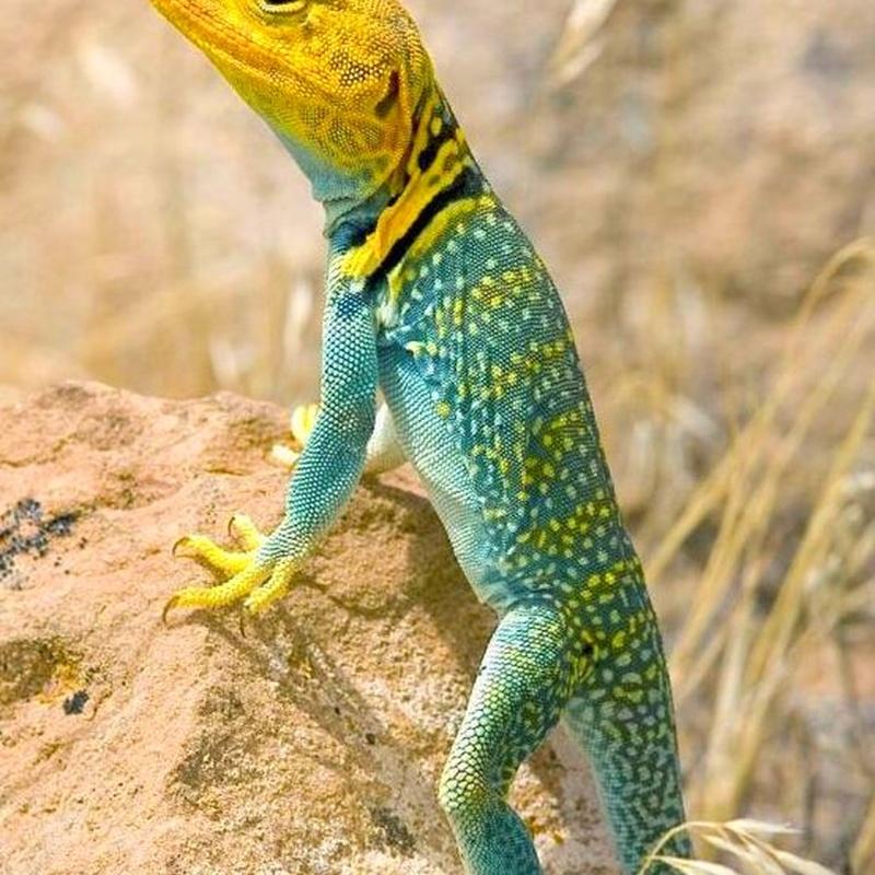 Crotaphytus collaris: Catálogo de Reptil Parc