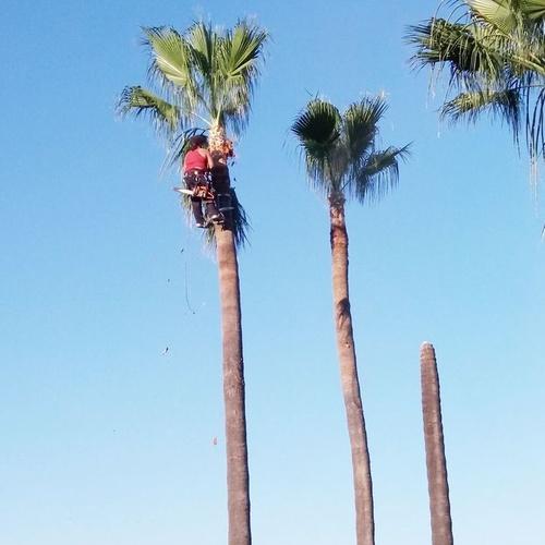 Poda de palmeras