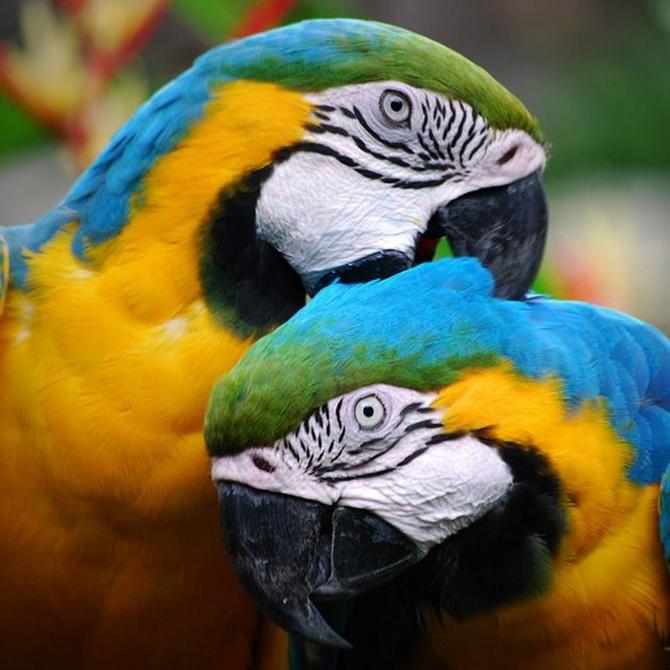 Cómo mantener vivo el plumaje de tu loro