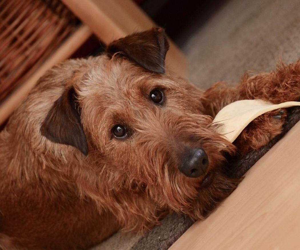 ¿Qué alimentos no puede comer un perro?